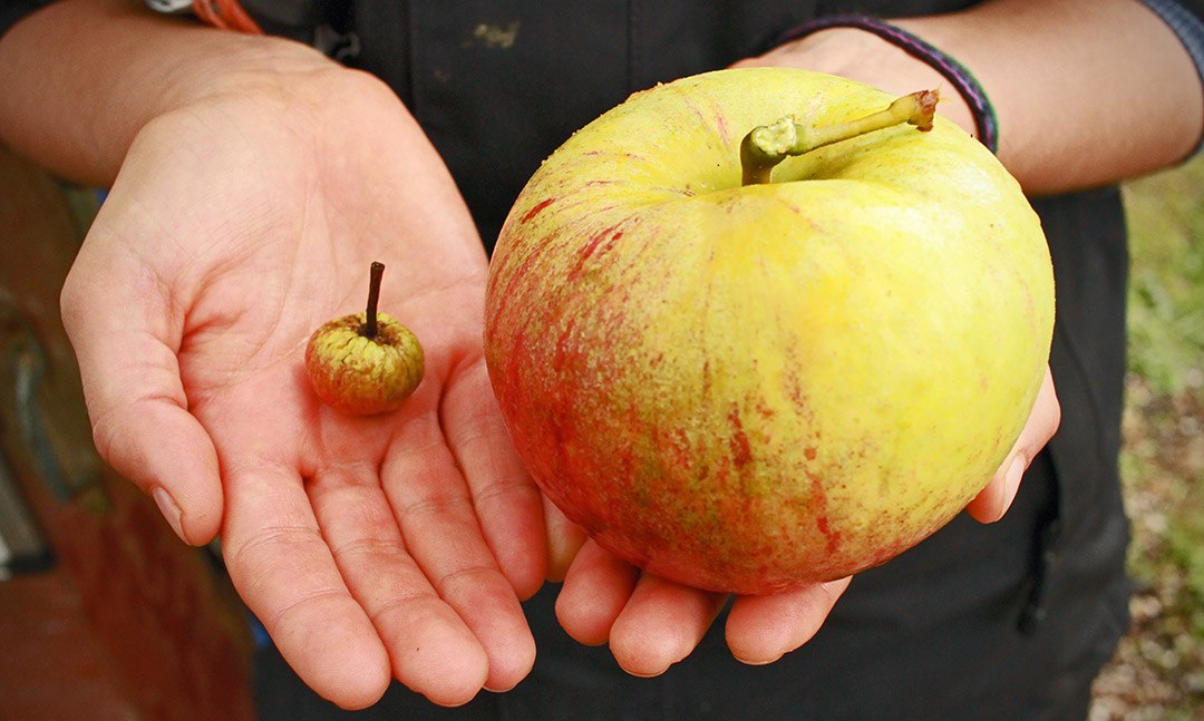 Two hands holding a very big apple, and a very small apple